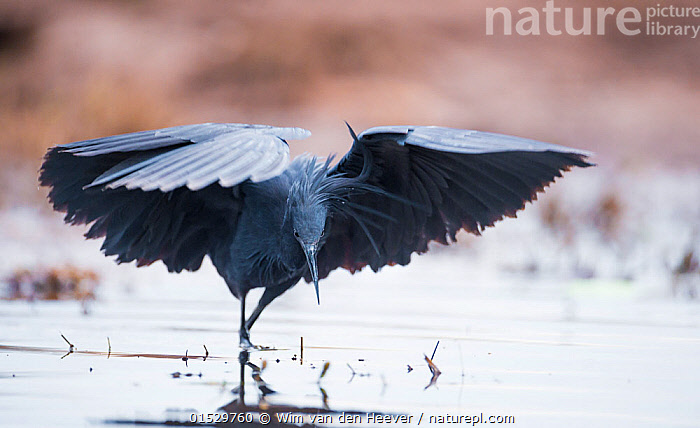 Black heron (Egretta ardesiaca) fishing and using wings to create an area of shade to attract fish, on the banks of the Chobe River, Botswana.  ,  catalogue8,,Animal,Vertebrate,Bird,Birds,True egret,Black heron,Animalia,Animal,Wildlife,Vertebrate,Aves,Bird,Birds,Pelecaniformes,Ardeidae,Egretta,True egret,Heron,Ardeinae,Egretta ardesiaca,Black heron,Black egret,Hydranassa ardesiaca,Strategy,Colour,Black,Nobody,Africa,Southern Africa,Botswana,Full Length,Full Lengths,Whole,Front View,View From Front,Wing,Wings,Flowing Water,River,Outdoors,Open Air,Outside,Day,Nature,Natural,Natural World,Wild,Freshwater,Water,Animal Behaviour,Predation,Hunting,Behaviour,Wings spread,Wingspan,Chobe River,  ,  Wim van den Heever