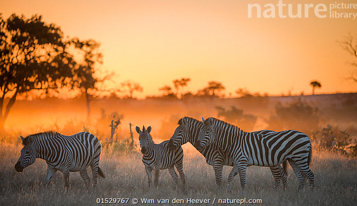 Plains zebra (Equus quagga) group of four including foal at sunset,  Savuti Marsh, Botswana., catalogue8,,Animal,Vertebrate,Mammal,Odd toed ungulate,Common Zebra,Animalia,Animal,Wildlife,Vertebrate,Mammalia,Mammal,Perissodactyla,Odd toed ungulate,Equidae,Equus,Equus quagga,Common Zebra,Painted Zebra,Plains Zebra,Equus burchelli,Togetherness,Close,Together,Colour,Golden,Yellow,Few,Four,Group,Medium Group,Nobody,Pattern,Patterned,Patterns,Stripes,Africa,Southern Africa,Botswana,Young Animal,Juvenile,Babies,Baby Mammal,Calf,Foal,Foals,Plain,Plains,Mist,Sunset,Setting Sun,Sunsets,Outdoors,Open Air,Outside,Twilight,Evening,Day,Family,Dusk,Four animals,Animal marking,Five animals,Yellow Colour,Savuti Marsh,, Wim van den Heever