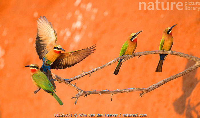 White-fronted bee-eaters (Merops bullockoides) perched near to nesting holes Chobe National Park, Botswana., Animal,Vertebrate,Bird,Birds,Bee eater,White fronted bee eater,Animalia,Animal,Wildlife,Vertebrate,Aves,Bird,Birds,Coraciiformes,Meropidae,Bee eater,Merops,Merops bullockoides,White fronted bee eater,Flying,Landing,Few,Four,Group,Africa,Southern Africa,Botswana,Wing,Wings,Flight,Wings spread,Wingspan,, Wim van den Heever