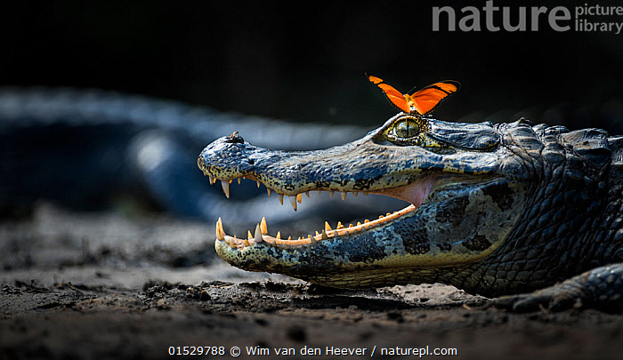 Julia heleconia (Dryas julia) butterfly on head of Yacare caiman (Caiman yacare)  Pantanal, Brazil., catalogue8,,Animal,Arthropod,Insect,Brushfooted butterfly,Passion vine butterfly,Julia butterfly,Vertebrate,Reptile,Crocodilian,Caiman,Jacare caiman,Pantanal wetlands,Animalia,Animal,Wildlife,Hexapoda,Arthropod,Invertebrate,Hexapod,Arthropoda,Insecta,Insect,Lepidoptera,Lepidopterans,Nymphalidae,Brushfooted butterfly,Fourfooted butterfly,Nymphalid,Butterfly,Papilionoidea,Dryas,Passion vine butterfly,Longwing,Heliconian,Heliconiini,Heliconninae,Dryas iulia,Julia butterfly,Julia heliconian,Julia longwing butterfly,The Flam,Flambeau,Dryas julia,Colaenis iulia,Alcionea iulia,Vertebrate,Reptilia,Reptile,Crocodylia,Crocodilian,Crocodilia,Alligatoridae,Caiman,Caiman yacare,Jacare caiman,Crocodilus yacare,Caiman crocodilus yacare,Alligator punctulatus,Resting,Rest,Enjoyment,Enjoy,Enjoying,Pleasure,Fun,Amusement,Friendship,Happiness,Colour,Orange,Two,Nobody,Facial Expression,Laughing,Smiling,Latin America,South America,Brazil,Close Up,Mouth,Outdoors,Open Air,Outside,Day,Nature,Natural,Natural World,Wild,Animal Behaviour,Playing,Behaviour,Play,Playful,Unlikely friends,Unusual friends,Two animals,Pantanal,Pantanal wetlands,Open Mouth,, Wim van den Heever
