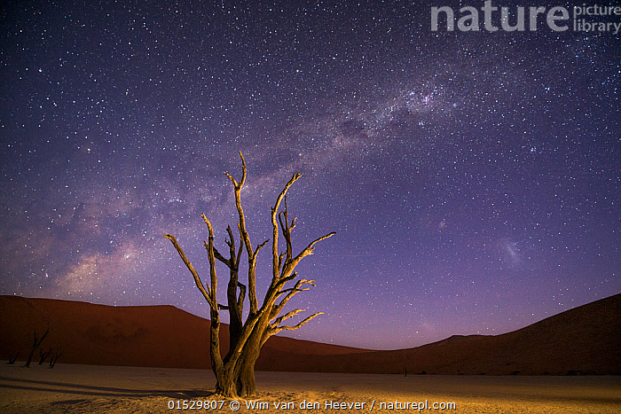 Ancient dead Camelthorn trees (Vachellia erioloba) with red dunes and the milky way behind, Namib desert, Sossusvlei, Namibia. Composite., Plant,Vascular plant,Flowering plant,Rosid,Legume,Camelthorn tree,Plantae,Plant,Tracheophyta,Vascular plant,Magnoliopsida,Flowering plant,Angiosperm,Seed plant,Spermatophyte,Spermatophytina,Angiospermae,Fabales,Rosid,Dicot,Dicotyledon,Rosanae,Fabaceae,Legume,Pea,Bean,Leguminosae,Vachellia,Vachellia erioloba,Camelthorn tree,Camel thorn tree,Giraffe thorn,Acacia erioloba,Acacia giraffae,Dead,Africa,Southern Africa,Namibia,South-West Africa,Tree,Sand Dune,Dune,Dunes,Sandbank,Desert,Deserts,Namib Desert,Outer Space,The Universe,Galaxy,Galaxies,Stars,Landscape,Landscapes,Night,Geology,Death,Namibian,Milkyway,Claypan,, Wim van den Heever