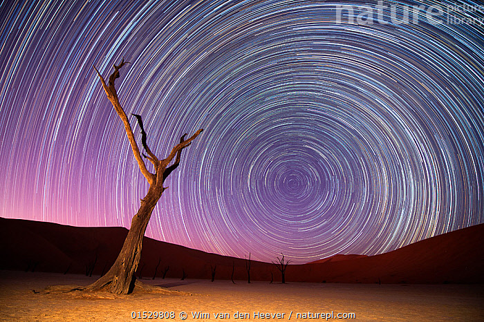 Ancient dead Camelthorn trees (Vachellia erioloba) with red dunes, and star trails, Namib desert, Sossusvlei, Namibia. Composite.  ,  Plant,Vascular plant,Flowering plant,Rosid,Legume,Camelthorn tree,Plantae,Plant,Tracheophyta,Vascular plant,Magnoliopsida,Flowering plant,Angiosperm,Seed plant,Spermatophyte,Spermatophytina,Angiospermae,Fabales,Rosid,Dicot,Dicotyledon,Rosanae,Fabaceae,Legume,Pea,Bean,Leguminosae,Vachellia,Vachellia erioloba,Camelthorn tree,Camel thorn tree,Giraffe thorn,Acacia erioloba,Acacia giraffae,Spectacular,Dead,Shape,Shapes,Geometric,Vortexes,Vortices,Africa,Southern Africa,Namibia,South-West Africa,Tree,Sand Dune,Dune,Dunes,Sandbank,Desert,Deserts,Namib Desert,Outer Space,The Universe,Star Trail,Stars,Landscape,Landscapes,Night,Geology,Death,Namibian,Claypan,  ,  Wim van den Heever