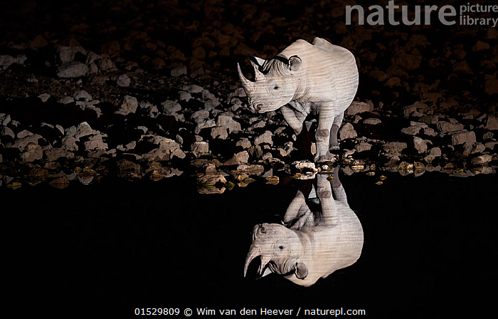 Black rhinoceros (Diceros bicornis) bull having a drink at night with perfect reflections. Etosha National Park, Namibia. Taken with Infrared camera.  ,  Animal,Vertebrate,Mammal,Odd toed ungulate,Rhinoceros,Black rhino,Black Rhinoceros,Animalia,Animal,Wildlife,Vertebrate,Mammalia,Mammal,Perissodactyla,Odd toed ungulate,Rhinocerotidae,Rhinoceros,Rhino,Diceros,Black rhino,Diceros bicornis,Black Rhinoceros,Hook-lipped Rhinoceros,Africa,Southern Africa,Namibia,South-West Africa,Lighting Technique,Reflection,Water Hole,Water Holes,Night,Freshwater,Water,Namibian,Etosha National Park,Endangered species,threatened,Critically endangered  ,  Wim van den Heever