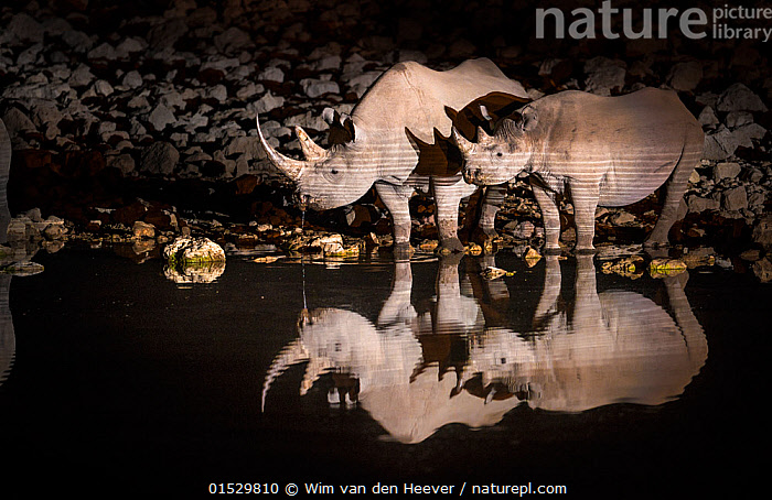 Black rhinoceros (Diceros bicornis) mother and calf having a drink at night with perfect reflections. Etosha National Park, Namibia. Taken with infrared camera., catalogue8,,Animal,Vertebrate,Mammal,Odd toed ungulate,Rhinoceros,Black rhino,Black Rhinoceros,Animalia,Animal,Wildlife,Vertebrate,Mammalia,Mammal,Perissodactyla,Odd toed ungulate,Rhinocerotidae,Rhinoceros,Rhino,Diceros,Black rhino,Diceros bicornis,Black Rhinoceros,Hook-lipped Rhinoceros,Standing,Mood,Eerie,Side By Side,Two,Nobody,Dark,Darkness,Africa,Southern Africa,Namibia,South-West Africa,Lighting Technique,Young Animal,Juvenile,Babies,Baby Mammal,Calf,Reflection,Water Hole,Water Holes,Water's Edge,Outdoors,Open Air,Outside,Night,Freshwater,Water Surface,Water,Drinking,Reserve,Family,Mother baby,Mother-baby,mother,Protected area,National Park,Two animals,Namibian,Parent baby,Etosha National Park,Endangered species,threatened,Critically endangered, Wim van den Heever