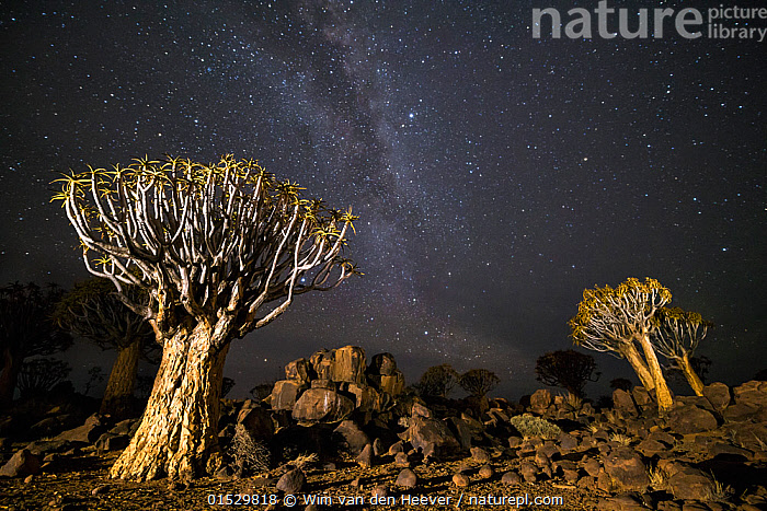 Quiver trees (Aloe dichotoma) with the Milky Way at night, Keetmanshoop, Namibia.  ,  Plant,Vascular plant,Flowering plant,Monocot,Quiver tree,Plantae,Plant,Tracheophyta,Vascular plant,Magnoliopsida,Flowering plant,Angiosperm,Seed plant,Spermatophyte,Spermatophytina,Angiospermae,Asparagales,Monocot,Monocotyledon,Lilianae,Xanthorrhoeaceae,Aloe,Aloe dichotoma,Quiver tree,Kokerboom,Rhipidodendrum dichotomum,Spectacular,Africa,Southern Africa,Namibia,South-West Africa,Tree,Outer Space,The Universe,Galaxy,Galaxies,Stars,Landscape,Landscapes,Night,Nature,Natural,Natural World,Beauty In Nature,Namibian,Milkyway,  ,  Wim van den Heever