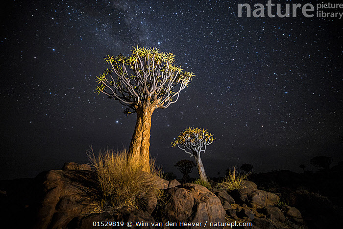 Quiver trees (Aloe dichotoma) with the Milky Way at night, Keetmanshoop, Namibia. Colours accentuated digitally.  ,  Plant,Vascular plant,Flowering plant,Monocot,Quiver tree,Plantae,Plant,Tracheophyta,Vascular plant,Magnoliopsida,Flowering plant,Angiosperm,Seed plant,Spermatophyte,Spermatophytina,Angiospermae,Asparagales,Monocot,Monocotyledon,Lilianae,Xanthorrhoeaceae,Aloe,Aloe dichotoma,Quiver tree,Kokerboom,Rhipidodendrum dichotomum,Spectacular,Africa,Southern Africa,Namibia,South-West Africa,Tree,Outer Space,The Universe,Galaxy,Galaxies,Stars,Landscape,Landscapes,Night,Nature,Natural,Natural World,Beauty In Nature,Namibian,Milkyway,  ,  Wim van den Heever
