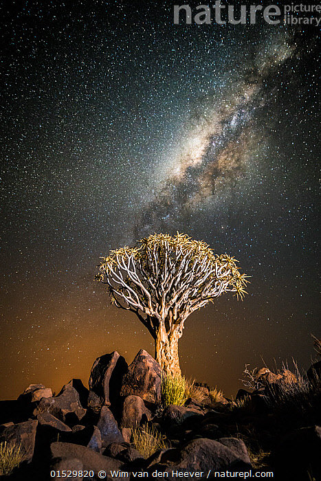 Quiver tree (Aloe dichotoma) with the Milky Way at night, and light pollution from town in the distance, Keetmanshoop, Namibia. Colours accentuated digitally.  ,  Plantae,Plant,Tracheophyta,Vascular plant,Magnoliopsida,Flowering plant,Angiosperm,Seed plant,Spermatophyte,Spermatophytina,Angiospermae,Asparagales,Monocot,Monocotyledon,Lilianae,Xanthorrhoeaceae,Aloe,Aloe dichotoma,Quiver tree,Kokerboom,Rhipidodendrum dichotomum,Spectacular,Mood,Nobody,Africa,Southern Africa,Namibia,South-West Africa,Tree,Outer Space,The Universe,Galaxy,Galaxies,Stars,Rock,Landscape,Landscapes,Outdoors,Open Air,Outside,Night,Environment,Environmental Issues,Environmental Damage,Nature,Natural,Natural World,Namibian,Milky Way,Milkyway,Plants,Angiosperms,Spermatophytes,Monocots,Monocotyledons,Aloes,Moods,Trees,Rocks,Nights,Plant,Vascular plant,Flowering plant,Monocot,Quiver tree, catalogue8  ,  Wim van den Heever