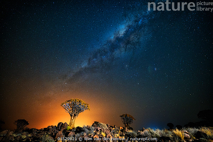 Quiver tree (Aloe dichotoma) with the Milky Way at night, and light pollution from town in the distance, Keetmanshoop, Namibia. Colours accentuated digitally.  ,  Plant,Vascular plant,Flowering plant,Monocot,Quiver tree,Plantae,Plant,Tracheophyta,Vascular plant,Magnoliopsida,Flowering plant,Angiosperm,Seed plant,Spermatophyte,Spermatophytina,Angiospermae,Asparagales,Monocot,Monocotyledon,Lilianae,Xanthorrhoeaceae,Aloe,Aloe dichotoma,Quiver tree,Kokerboom,Rhipidodendrum dichotomum,Spectacular,Africa,Southern Africa,Namibia,South-West Africa,Tree,Outer Space,The Universe,Galaxy,Galaxies,Stars,Landscape,Landscapes,Night,Environment,Environmental Issues,Environmental Damage,Nature,Natural,Natural World,Beauty In Nature,Namibian,Milkyway,,,stars,night,astrophotography,stargazing,  ,  Wim van den Heever