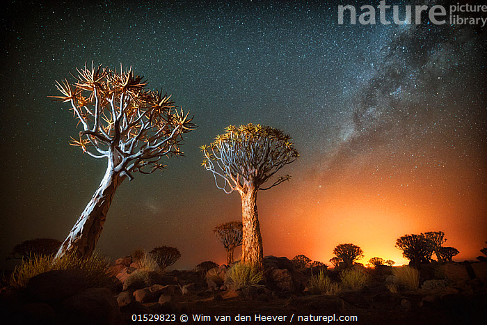 Quiver tree (Aloe dichotoma) with the Milky Way at night, and light pollution from town in the distance, Keetmanshoop, Namibia. Colours accentuated digitally.  ,  Plant,Vascular plant,Flowering plant,Monocot,Quiver tree,Plantae,Plant,Tracheophyta,Vascular plant,Magnoliopsida,Flowering plant,Angiosperm,Seed plant,Spermatophyte,Spermatophytina,Angiospermae,Asparagales,Monocot,Monocotyledon,Lilianae,Xanthorrhoeaceae,Aloe,Aloe dichotoma,Quiver tree,Kokerboom,Rhipidodendrum dichotomum,Astonishing,Spectacular,Africa,Southern Africa,Namibia,South-West Africa,Photographic Effect,Long Exposure,Tree,Outer Space,The Universe,Galaxy,Galaxies,Stars,Landscape,Landscapes,Night,Environment,Environmental Issues,Environmental Damage,Nature,Natural,Natural World,Beauty In Nature,Namibian,Starry,Milkyway,,,stars,night,astrophotography,stargazing,  ,  Wim van den Heever