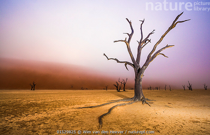 Ancient dead Camelthorn tree (Vachellia erioloba) trees with red dunes and mist, Namib desert, Deadvlei, Sossusvlei, Namibia. August 2015.  ,  catalogue8,,Plant,Vascular plant,Flowering plant,Rosid,Legume,Camelthorn tree,Plantae,Plant,Tracheophyta,Vascular plant,Magnoliopsida,Flowering plant,Angiosperm,Seed plant,Spermatophyte,Spermatophytina,Angiospermae,Fabales,Rosid,Dicot,Dicotyledon,Rosanae,Fabaceae,Legume,Pea,Bean,Leguminosae,Vachellia,Vachellia erioloba,Camelthorn tree,Camel thorn tree,Giraffe thorn,Acacia erioloba,Acacia giraffae,Mood,Eerie,Mystery,Mysterious,Ancient,Nobody,Dry,Arid,Africa,Southern Africa,Namibia,South-West Africa,Copy Space,Tree,Sand Dune,Dune,Dunes,Sandbank,Desert,Deserts,Namib Desert,Mist,Landscape,Landscapes,Outdoors,Open Air,Outside,Day,Geology,Death,Negative space,Namibian,Dried Up,Deadvlei,Claypan,  ,  Wim van den Heever