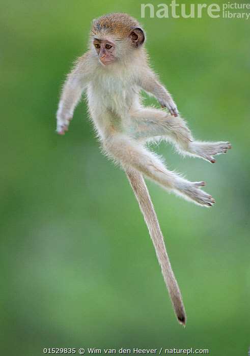 Vervet Monkey (Chlorocebus pygerythrus) baby jumping between branches, photographed mid air. Okavango Delta Botswana.  ,  catalogue8,,Animal,Vertebrate,Mammal,Monkey,Vervet monkey,Animalia,Animal,Wildlife,Vertebrate,Mammalia,Mammal,Primate,Primates,Cercopithecidae,Monkey,Old World Monkeys,Chlorocebus,Chlorocebus pygerythrus,Vervet monkey,Vervet,Cercopithecus pygerythrus,Jumping,Playing,Glance,Glances,Glancing,Look Away,Looks Away,Agility,Agile,Cute,Adorable,Focus,Mid Air,Nobody,Africa,Southern Africa,Botswana,Coloured Background,Green Background,Cutout,Full Length,Full Lengths,Whole,Young Animal,Juvenile,Babies,Hair,Fur,Tail,Outdoors,Open Air,Outside,Day,Animal Behaviour,Behaviour,Play,Playful,Negative space,Focused,Messing About,Animal Hair,Okavango Delta,  ,  Wim van den Heever