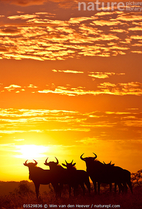 Blue wildebeest (Connochaetes taurinus) herd silhouetted against the rising sun with clouds in the background. Greater Kruger National Park, South Africa  ,  Animalia,Animal,Wildlife,Vertebrate,Mammalia,Mammal,Artiodactyla,Even-toed ungulates,Bovidae,Bovid,ruminantia,Ruminant,Connochaetes,Wildebeest,Connochaetes taurinus,Blue Wildebeest,Common Wildebeest,Standing,Waiting,Alertness,Morning,Mornings,Scale ,Proportion,Togetherness,Close,Together,Colour ,Yellow,Group Of Animals,Herd,Few,Group,Medium Group,Nobody,Horned,Africa,Southern Africa,South Africa,Vertical,Back Lit,Backlit,Sky,Cloud,Sunrise,Outdoors,Day,Nature,Natural,Natural World,Reserve,Silhouette,The Sun,Protected area,National Park,Horn,Dawn,Medium group of animals,South African,Yellow Colour,Greater Kruger National Park,Animals,Vertebrates,Chordates,Mammals,Bovids,Ruminants,Wildebeests,Groups,Skies,Clouds,Sunrises,Silhouettes,Reserves,Horns,National parks,Colours,Colors,Animal,Vertebrate,Mammal,Bovid,Wildebeest,Blue Wildebeest, catalogue8  ,  Wim van den Heever
