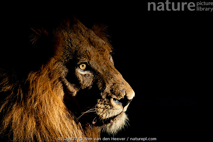 Lion (Panthera leo) male with scars photographed with side-lit spot light at night. Greater Kruger National Park, South Africa, April.  ,  catalogue8,,Animal,Vertebrate,Mammal,Carnivore,Cat,Big cat,Lion,Vicious,Animalia,Animal,Wildlife,Vertebrate,Mammalia,Mammal,Carnivora,Carnivore,Felidae,Cat,Panthera,Big cat,Panthera leo,Thinking,Thoughtful,Surprise,Atmospheric Mood,Atmospheric,Focus,Threat,Menace,Menaces,Menacing,Threatening,Threats,Nobody,Dark,Darkness,Serious,Africa,Southern Africa,South Africa,Copy Space,Plain Background,Black Background,Profile,Close Up,Side View,Portrait,Male Animal,Mane,Manes,Outdoors,Open Air,Outside,Night,Eyesight,Sight,Ferocious,Reserve,Lion,Protected area,National Park,Wildlife watching,Yellow Eyes,Negative space,South African,Safari,Using Senses,Contemplation,Vicious,Focused,Eye colour,Scar,Scars,Scarred,Greater Kruger National Park,  ,  Wim van den Heever