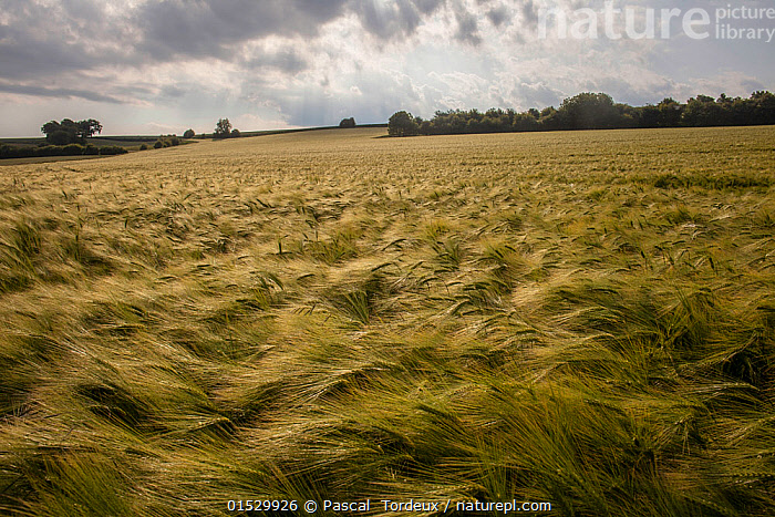 Barley (Hordeum vulgare) in field blown by the wind, Hesdin, France, June 2015., Plant,Vascular plant,Flowering plant,Monocot,Grass,Barley,Plantae,Plant,Tracheophyta,Vascular plant,Magnoliopsida,Flowering plant,Angiosperm,Seed plant,Spermatophyte,Spermatophytina,Angiospermae,Poales,Monocot,Monocotyledon,Lilianae,Poaceae,Grass,True grass,Gramineae,Hordeum,Barley,Hordeum vulgare,Cereal barley,Common barley,Two rowed barley,Europe,Western Europe,France,Crops,Produce,Cultivated,Cultivation,Cultivated Land,Fields,Landscape,Landscapes,Farmland,, Pascal  Tordeux