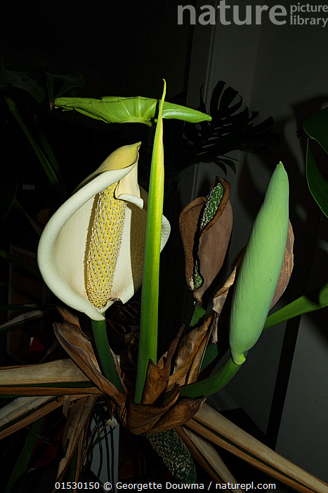 Nature Picture Library - Swiss cheese plant (Monstera deliciosa) in