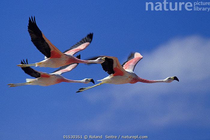 Andean flamingo (Phoenicoparrus andinus) group of three in flight, Chile.  ,  Animal,Vertebrate,Bird,Birds,Flamingo,Andean flamingo,Animalia,Animal,Wildlife,Vertebrate,Aves,Bird,Birds,Phoenicopteriformes,Flamingo,Phoenicopteridae,Phoenicoparrus,Phoenicoparrus andinus,Andean flamingo,Greater Andean flamingo,Phoenicopterus andinus,Flying,Few,Three,Group,Latin America,South America,Chile,Sky,Flight,Blue sky,Endangered species,threatened,Vulnerable  ,  Roland  Seitre
