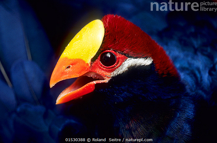 Violet turaco (Musophaga violacea) captive, occurs in West Africa.  ,  Animal,Vertebrate,Bird,Birds,Turaco,Violet plantain eater,Animalia,Animal,Wildlife,Vertebrate,Aves,Bird,Birds,Musophagiformes,Musophagidae,Turaco,Musophaga,Musophaga violacea,Violet plantain eater,Violet turaco,Colour,Colourful,Colorful,Africa,Close Up,Rear View,  ,  Roland  Seitre