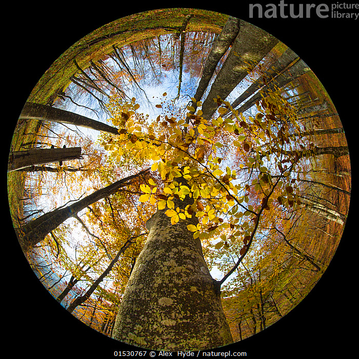 Canopy of a Beech woodland (Fagus sylvatica) in autumn through a circular fisheye lens.  Plitvice Lakes National Park, Croatia. November.  ,  Plant,Vascular plant,Flowering plant,Rosid,Beech tree,European beech tree,Plantae,Plant,Tracheophyta,Vascular plant,Magnoliopsida,Flowering plant,Angiosperm,Seed plant,Spermatophyte,Spermatophytina,Angiospermae,Fagales,Rosid,Dicot,Dicotyledon,Rosanae,Fagaceae,Fagus,Beech tree,Beech,Fagus sylvatica,European beech tree,Common beech,Castanea fagus,Fagus asplenifolia,Fagus cristata,Shape,Circle,Europe,Southern Europe,Croatia,Low Angle View,Wide Angle,Tree,Tree Canopy,Tree Canopies,Autumn,Woodland,Reserve,Forest,Protected area,UNESCO World Heritage Site,National Park,Plants,Angiosperms,Spermatophytes,Rosids,Dicots,Dicotyledons,Beech trees,Beeches,Shapes,Circles,Trees,Woods,Forests,Woodlands,Canopy,Reserves,National parks,Plant,Vascular plant,Flowering plant,Rosid,Beech tree,European beech tree, catalogue9  ,  Alex  Hyde
