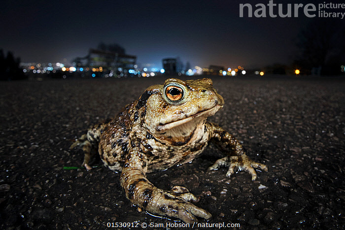 Common toad (Bufo bufo) with urban lights behind, Bristol, UK. March. Highly Commended British Wildlife Photography Awards, 2015.  ,  Animal,Vertebrate,Frog,Toad,Common european toad,Animalia,Animal,Wildlife,Vertebrate,Amphibia,Anura,Frog,Bufonidae,Toad,Bufo,Bufo bufo,Common european toad,Europe,Western Europe,UK,Great Britain,England,Bristol,Night,Nocturnal,Amphibian,  ,  Sam Hobson
