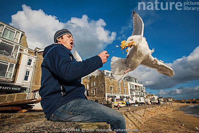 Herring gull (Larus argentatus) snatching food from man's hand. St Ives, Cornwall, UK. February  ,  Animal,Wildlife,Vertebrate,Bird,Birds,Gull,Larinae,Herring gull,Animalia,Animal,Wildlife,Vertebrate,Aves,Bird,Birds,Charadriiformes,Laridae,Gull,Seabird,Larus,Larinae,Larus argentatus,Herring gull,People,Man,Annoying,Europe,Western Europe,UK,Great Britain,England,Cornwall,Resort,Resorts,Tourist Resort,Tourist Resorts,Beach,Pests,Coast,Coastal,Feeding,Scavenging,Seagulls,Aggravating,Animals,Vertebrates,Chordates,Gulls,Seabirds,Men,Coasts,Seagull,Animal,Wildlife,Vertebrate,Bird,Birds,Gull,Larinae,Herring gull, catalogue9  ,  Sam Hobson