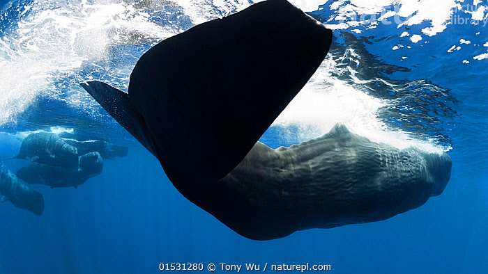 Sperm whale (Physeter macrocephalus) fluke of a female swimming near the surface, Sri Lanka, Indian Ocean.  ,  Animal,Wildlife,Vertebrate,Mammal,Ceteacean,Sperm whale,Sperm Whale,Animalia,Animal,Wildlife,Vertebrate,Mammalia,Mammal,Cetacea,Ceteacean,Physeteridae,Sperm whale,Odontoceti,Toothed whale,Physeter,Physeter macrocephalus,Sperm Whale,Cachelot,Pot Whale,Spermacet Whale,Physeter catodon,Physeter australasianus,Physeter australis,Group,Asia,Indian Subcontinent,Sri Lanka,Female animal,Tail,Tropical,Ocean,Indian Ocean,Marine,Underwater,Water,Saltwater,Fluke,Animals,Vertebrates,Chordates,Mammals,Cetaceans,Sperm whales,Toothed whales,Groups,Tails,Oceans,Flukes,Female Animals,Animal,Wildlife,Vertebrate,Mammal,Ceteacean,Sperm whale,Sperm Whale, catalogue9  ,  Tony Wu