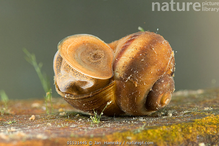 River snail (Viviparus contectus) closing shell opening with operculum, Europe, July.  Controlled conditions.  ,  Animal,Mollusc,Gastropod,River snail,Animalia,Animal,Wildlife,Mollusca,Mollusc,Gastropoda,Gastropod,Viviparoidea,Viviparidae,River snails,Viviparus,Viviparus contectus,River snail,Europe,Freshwater,Underwater,Water,Invertebrate,Invertebrates  ,  Jan  Hamrsky