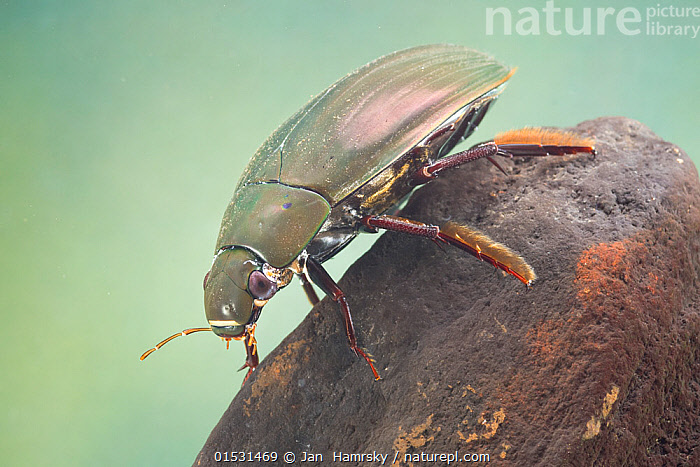 Great silver water beetle (Hydrophilus piceus) female, Europe, May.  Controlled conditions.  ,  Animal,Arthropod,Insect,Beetle,Water scavenger beetle,Great silver water beetle,Animalia,Animal,Wildlife,Hexapoda,Arthropod,Invertebrate,Hexapod,Arthropoda,Insecta,Insect,Coleoptera,Beetle,Endopterygota,Neoptera,Hydrophilidae,Water scavenger beetle,Water beetle,Hydrophilid,Hydrophiloidea,Polyphaga,Hydrophilus,Hydrophilus piceus,Great silver water beetle,Great silver diving beetle,Hydrophilus niger,Dytiscus piceus,Hydrophilus ruficornis,Europe,Female animal,Freshwater,Underwater,Water,Belidae,Freshwater  ,  Jan  Hamrsky