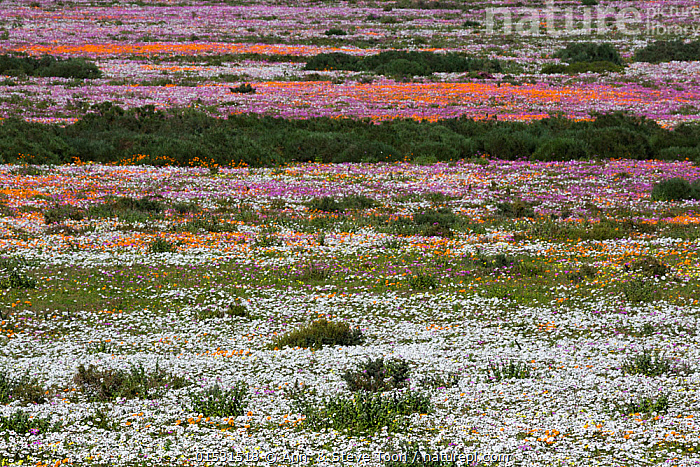 Spring wild flowers, Postberg section, West Coast National Park, Western Cape, South Africa, September 2015, Colour,Colourful,Colorful,Africa,Southern Africa,South Africa,Horizontal,Plant,Wildflower,Wildflowers,Flower,Flowers,Landscape,Landscapes,Spring,Habitat,Reserve,Mixed species,Cape floristic region,Biodiversity hotspots,Biodiversity hotspot,Protected area,National Park,South African,, Ann  & Steve Toon