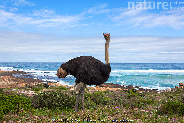 Ostrich (Struthio camelus) male standing in landscape, Table Mountain National Park, Western Cape, South Africa, Animal,Vertebrate,Bird,Birds,Rheiformes,Ostrich,Animalia,Animal,Wildlife,Vertebrate,Aves,Bird,Birds,Struthioniformes,Rheiformes,Struthionidae,Ostrich,Struthio,Struthio camelus,Common ostrich,African ostrich,Africa,Southern Africa,South Africa,Horizontal,Portrait,Male Animal,Landscape,Landscapes,Coast,Marine,Coastal,Water,Reserve,Saltwater,Sea,Cape floristic region,Biodiversity hotspots,Biodiversity hotspot,Protected area,National Park,South African,Ratite,Ratites,Flightless, Ann  & Steve Toon