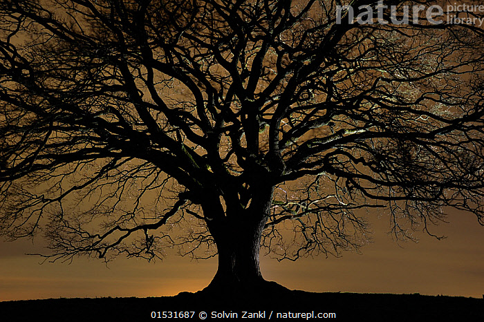 English oak tree (Quercus robur) in moonlight, Nauroth, Germany, February., Wildnis Eiche,,,Plant,Vascular plant,Flowering plant,Rosid,Oak,Pedunculate oak,Plantae,Plant,Tracheophyta,Vascular plant,Magnoliopsida,Flowering plant,Angiosperm,Seed plant,Spermatophyte,Spermatophytina,Angiospermae,Fagales,Rosid,Dicot,Dicotyledon,Rosanae,Fagaceae,Quercus,Oak,Oak tree,Quercus robur,Pedunculate oak,English oak tree,French oak,Quercus pedunculata,Quercus longaeva,Europe,Western Europe,Germany,Back Lit,Backlit,Tree,Deciduous,Oak Tree,Oak Trees,Oaks,Light,Lights,Moonlight,Moonlit,Winter,Silhouette,Bookplate,Tree,Trees, Solvin Zankl