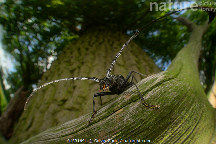 Great capricorn beetle (Cerambyx cerdo) on Oak tree (Quercus sp) Niedersachsische Elbtalaue Biosphere Reserve, Lower Saxonian Elbe Valley, Germany, July.  ,  Wildnis Eiche,catalogue8,,Plant,Vascular plant,Flowering plant,Rosid,Oak,Plantae,Plant,Tracheophyta,Vascular plant,Magnoliopsida,Flowering plant,Angiosperm,Seed plant,Spermatophyte,Spermatophytina,Angiospermae,Fagales,Rosid,Dicot,Dicotyledon,Rosanae,Fagaceae,Quercus,Oak,Oak tree,Alertness,Alert,Curiosity,Nobody,Length,Wide,Europe,Western Europe,Germany,Lower Saxony,Close Up,Front View,View From Front,Low Angle View,Portrait,Animal,Tree Trunk,Tree,Deciduous,Oak Tree,Oak Trees,Oaks,Antennae,Outdoors,Open Air,Outside,Day,Nature,Natural,Natural World,Wildlife,Wild,Forest,Bookplate,Sensory organ,Bipectinate Antenna,Antenna,Elbe Valley,Tree,Trees  ,  Solvin Zankl