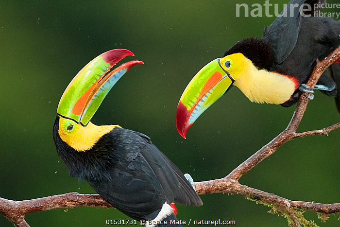 Keel billed toucan (Ramphastos sulfuratus) two perched together interacting, Costa Rica.  ,  Animal,Vertebrate,Bird,Birds,Toucan,Keel billed toucan,Animalia,Animal,Wildlife,Vertebrate,Aves,Bird,Birds,Piciformes,Ramphastidae,Toucan,Ramphastos,Ramphastos sulfuratus,Keel billed toucan,Rainbow billed toucan,Sulphur breasted toucan,Two,Latin America,Central America,Costa Rica,Weather,Raining,Rain,Biodiversity hotspot,  ,  Bence  Mate