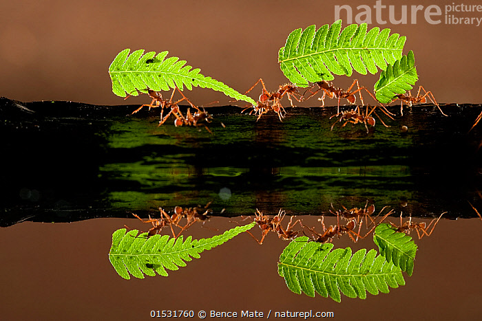 Leaf cutter ants (Atta sp) carrying pieces of fern, reflected in water, Costa Rica.  ,  Animal,Wildlife,Arthropod,Insect,Ant,Leafcutter ant,Animalia,Animal,Wildlife,Hexapoda,Arthropod,Invertebrate,Hexapod,Arthropoda,Insecta,Insect,Hymenoptera,Formicidae,Ant,Atta,Leafcutter ant,Leaf cutter ant,Fungus growing ant,Strength,Teamwork,Group,Latin America,Central America,Costa Rica,Plant,Fern,Leaf,Foliage,Reflection,Biodiversity hotspot,Animals,Arthropods,Invertebrates,Hexapods,Insects,Ants,Leafcutter ants,Leaf cutter ant,Fungus growing ants,Groups,Ferns,Leaves,Hotspots,Animal,Wildlife,Arthropod,Insect,Ant,Leafcutter ant,high16  ,  Bence  Mate