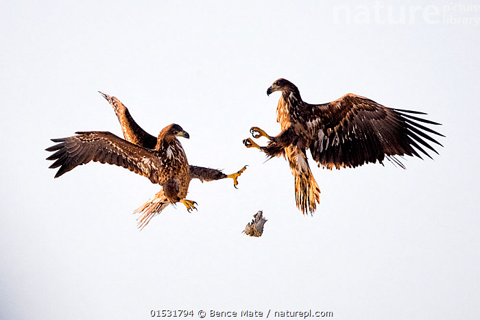 Juvenile White tailed sea eagles (Haliaeetus albicilla) fighting for fish in mid air,  Lake Csaj, Kiskunsagi National Park, Hungary. February.  ,  Animal,Vertebrate,Bird,Birds,Sea eagle,White tailed sea eagle,Animalia,Animal,Wildlife,Vertebrate,Aves,Bird,Birds,Accipitriformes,Accipitridae,Haliaeetus,Sea eagle,Eagle,Bird of prey,Raptor,Haliaeetus albicilla,White tailed sea eagle,White tailed eagle,Two,Europe,Eastern Europe,East Europe,Hungary,Young Animal,Juvenile,Animal Behaviour,Aggression,Fighting,Behaviour,Kisunsag National Park,Pusztaszeri Landscape Protected Area,Pusztazer,  ,  Bence  Mate