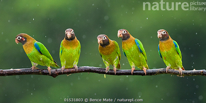 Nature Picture Library - Group of five Brown-hooded parrots