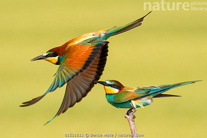 European bee eaters (Merops apiaster) one taking off another perched, Kiskunsagi National Park, Pusztaszer, Hungary. May., Animal,Wildlife,Vertebrate,Bird,Birds,Bee eater,European bee eater,Animalia,Animal,Wildlife,Vertebrate,Aves,Bird,Birds,Coraciiformes,Meropidae,Bee eater,Merops,Merops apiaster,European bee eater,Eurasian bee eater,Golden bee eater,Flying,Colour ,Colourful,Two,Europe,Eastern Europe,East Europe,Hungary,Wing,Reserve,Protected area,National Park,Kisunsagi National Park,Pusztazer,Animals,Vertebrates,Chordates,Bee eaters,Wings,Reserves,National parks,Colours,Colors,Animal,Wildlife,Vertebrate,Bird,Birds,Bee eater,European bee eater,high16, Bence  Mate