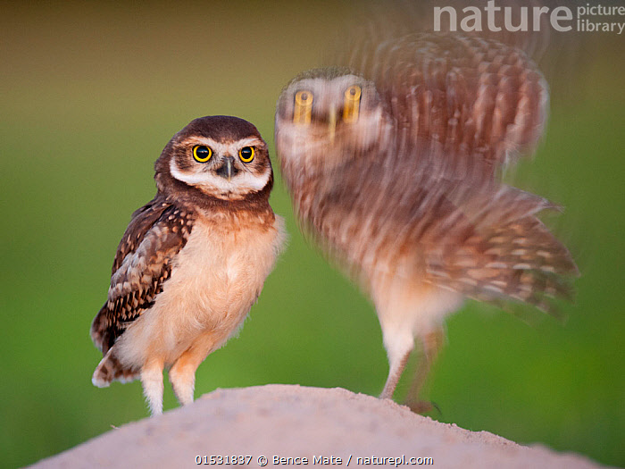 Two Burrowing owls (Athene cunicularia) fledgling with adult about to take off, Pantanal, Brazil., Animal,Wildlife,Vertebrate,Bird,Birds,Owl,Burrowing owl,Pantanal wetlands,Animalia,Animal,Wildlife,Vertebrate,Aves,Bird,Birds,Strigiformes,Owl,Bird of prey,Strigidae,Striginae,Athene,Athene cunicularia,Burrowing owl,Taking Off,Two,Latin America,South America,Brazil,Photographic Effect,Blurred Motion,Blurred Movement,Young Animal,Baby,Chick,Fledgling,Animal Behaviour,Parental behaviour,Arty shots,Family,Parental,Pantanal,Pantanal wetlands,Animals,Vertebrates,Chordates,Owls,Birds of prey,True owls,Typical owls,Juveniles,Young Animals,Baby Animals,Baby Birds,Young Birds,Chicks,Families,Babies,Animal,Wildlife,Vertebrate,Bird,Birds,Owl,Burrowing owl,Pantanal wetlands, catalogue9, Bence  Mate