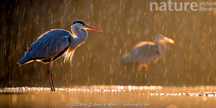 Grey heron (Ardea cinerea) in rain with another heron behind, Lake Csaj, Kiskunsagi National Park, Pusztaszer, Hungary. January., Animal,Wildlife,Vertebrate,Bird,Birds,Typical heron,Grey heron,Animalia,Animal,Wildlife,Vertebrate,Aves,Bird,Birds,Pelecaniformes,Ardeidae,Ardea,Typical heron,Heron,Ardeinae,Ardea cinerea,Grey heron,Europe,Eastern Europe,East Europe,Hungary,Camera Focus,Selective Focus,Sunlight,Weather,Raining,Rain,Freshwater,Lake,Water,Reserve,Protected area,National Park,Shallow depth of field,Low depth of field,Kisunsagi National Park,Pusztazer,Animals,Vertebrates,Chordates,Typical herons,Herons,Rains,Lakes,Reserves,National parks,Animal,Wildlife,Vertebrate,Bird,Birds,Typical heron,Grey heron, catalogue9, Bence  Mate