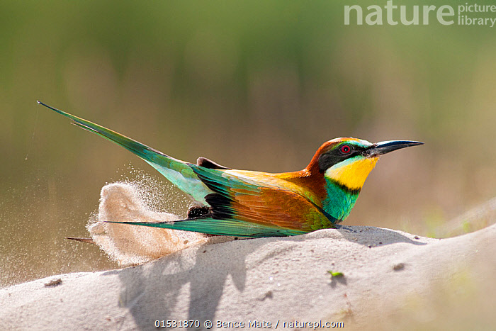 Eurasian bee eater (Merops apiaster) dust bathing in sand, Pusztaszer, Hungary, May., Animal,Vertebrate,Bird,Birds,Bee eater,European bee eater,Animalia,Animal,Wildlife,Vertebrate,Aves,Bird,Birds,Coraciiformes,Meropidae,Bee eater,Merops,Merops apiaster,European bee eater,Eurasian bee eater,Golden bee eater,Grooming,Europe,Eastern Europe,East Europe,Hungary,Copy Space,Animal Behaviour,Reserve,Behaviour,Protected area,National Park,Negative space,Dust bathing,Dust bath,Sand bathing,Sand bath,Kisunsag National Park,Pusztazer,, Bence  Mate