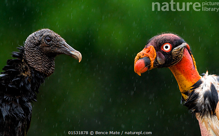 Black vulture (Coragyps atratus) face to face with King vulture (Sarcoramphus papa) Costa Rica.  ,  Animal,Vertebrate,Bird,Birds,New world vulture,Vulture,Black vulture,King vulture,Animalia,Animal,Wildlife,Vertebrate,Aves,Bird,Birds,Accipitriformes,Cathartidae,New world vulture,Coragyps,Vulture,Coragyps atratus,Black vulture,American black vulture,Sarcoramphus,King vulture,Sarcoramphus papa,Face To Face,Face Each Other,Facing Each Other,Two,Latin America,Central America,Costa Rica,Weather,Raining,Rain,Communication,Communicating,Mixed species,Biodiversity hotspot,  ,  Bence  Mate