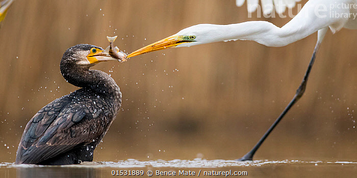 Great egret (Ardea alba) fighting with Cormorant (Phalacrocorax carbo) over fish, Lake Csaj, Kiskunsagi National Park, Pusztaszer, Hungary., Animal,Vertebrate,Bird,Birds,Typical heron,Great egret,Phalacrocoraciformes,Cormorant,Great cormorant,Animalia,Animal,Wildlife,Vertebrate,Aves,Bird,Birds,Pelecaniformes,Ardeidae,Ardea,Typical heron,Heron,Ardeinae,Ardea alba,Great egret,Great white egret,Large egret,Great white heron,Casmerodius albus,Egretta alba,Suliformes,Phalacrocoraciformes,Phalacrocoracidae,Cormorant,Phalacrocorax,Phalacrocorax carbo,Great cormorant,Common cormorant,Common black cormorant,Large cormorant,Large back cormorant,Europe,Eastern Europe,East Europe,Hungary,Freshwater,Lake,Water,Animal Behaviour,Aggression,Fighting,Reserve,Mixed species,Behaviour,Protected area,National Park,Squabbling,Squabbles,Squabble,Jalohaikara,Kisunsag National Park,Pusztazer,Seabird,Seabirds,Marine bird,Marine birds,Pelagic bird,Pelagic birds, Bence  Mate