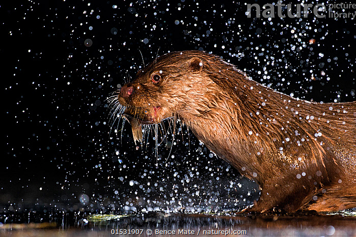 European otter (Lutra lutra) with fish prey, with water splashing around, Kiskunsagi National Park, Hungary, July.  ,  Animal,Wildlife,Vertebrate,Mammal,Carnivore,Mustelid,River otter,Common Otter,Animalia,Animal,Wildlife,Vertebrate,Mammalia,Mammal,Carnivora,Carnivore,Mustelidae,Mustelid,Lutra,River otter,Lutra lutra,Common Otter,Eurasian Otter,European Otter,European River Otter,Old World Otter,Splashing,Europe,Eastern Europe,East Europe,Hungary,Profile,Side View,Night,Freshwater,Lake,Water,Reserve,Protected area,National Park,Kisunsagi National Park,Pusztazer,Animals,Vertebrates,Chordates,Mammals,Carnivores,Mustelids,River otters,Lakes,Reserves,National parks,Nights,Animal,Wildlife,Vertebrate,Mammal,Carnivore,Mustelid,River otter,Common Otter, catalogue9  ,  Bence  Mate