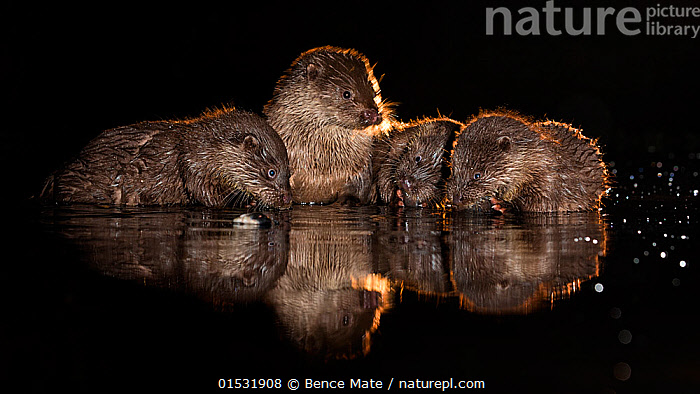 European otter (Lutra lutra) group in shallow water, Kiskunsagi National Park, Hungary, October.  ,  Animal,Vertebrate,Mammal,Carnivore,Mustelid,River otter,Common Otter,Animalia,Animal,Wildlife,Vertebrate,Mammalia,Mammal,Carnivora,Carnivore,Mustelidae,Mustelid,Lutra,River otter,Lutra lutra,Common Otter,Eurasian Otter,European Otter,European River Otter,Old World Otter,Few,Four,Group,Europe,Eastern Europe,East Europe,Hungary,Reflection,Night,Freshwater,Lake,Water,Reserve,Protected area,National Park,Kisunsag National Park,Pusztazer,  ,  Bence  Mate