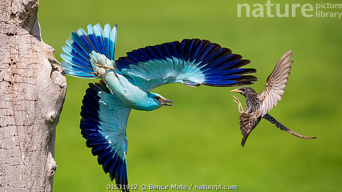 European Roller (Coracias garrulus) fighting with Starling (Sturnus vulgaris) in flight, Lake Csaj, Pusztaszer, Kiskunsagi National Park, Hungary, February.  ,  Animal,Vertebrate,Bird,Birds,Roller,Common roller,Songbird,Starling,Common starling,Animalia,Animal,Wildlife,Vertebrate,Aves,Bird,Birds,Coraciiformes,Coraciidae,Roller,Coracias,Coracias garrulus,Common roller,Eurasian roller,European roller,Blue roller,Passeriformes,Songbird,Passerine,Sturnidae,Starling,Sturnus,Sturnus vulgaris,Common starling,European starling,Eurasian starling,Northern starling,Purple winged starling,Europe,Eastern Europe,East Europe,Hungary,Animal Behaviour,Aggression,Fighting,Reserve,Mixed species,Behaviour,Protected area,National Park,Kisunsag National Park,Pusztazer,  ,  Bence  Mate