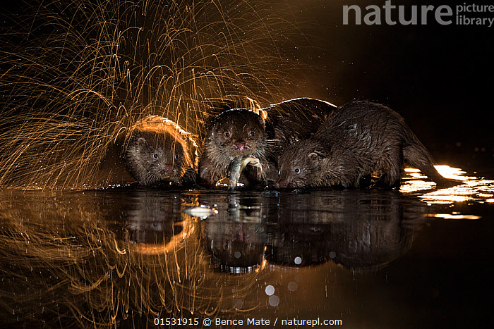European otter (Lutra lutra) group with one shaking off water, Kiskunsagi National Park, Hungary, October.  ,  Animal,Vertebrate,Mammal,Carnivore,Mustelid,River otter,Common Otter,Animalia,Animal,Wildlife,Vertebrate,Mammalia,Mammal,Carnivora,Carnivore,Mustelidae,Mustelid,Lutra,River otter,Lutra lutra,Common Otter,Eurasian Otter,European Otter,European River Otter,Old World Otter,Splashing,Group,Europe,Eastern Europe,East Europe,Hungary,Back Lit,Backlit,Water's Edge,Night,Freshwater,Lake,Water,Reserve,Arty shots,Protected area,National Park,Kisunsag National Park,Pusztazer,  ,  Bence  Mate