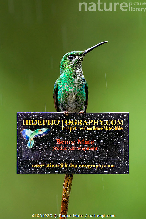 Green-crowned brilliant hummingbird (Heliodoxa jacula) on sign for Bence Mate's HidePhotography.com, which rents out hides for wildlife photography. Costa Rica.  ,  Animal,Vertebrate,Bird,Birds,Hummingbird,Green crowned brilliant,Animalia,Animal,Wildlife,Vertebrate,Aves,Bird,Birds,Apodiformes,Trochilidae,Hummingbird,Heliodoxa,Heliodoxa jacula,Green crowned brilliant,Green fronted Brilliant,Latin America,Central America,Costa Rica,Information,Weather,Raining,Rain,Biodiversity hotspot,  ,  Bence  Mate