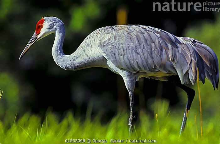 Sandhill Crane (Grus canadensis) foraging for food, Tampa Bay, Florida, USA., Animal,Wildlife,Vertebrate,Bird,Birds,Crane,Sandhill crane,American,Animalia,Animal,Wildlife,Vertebrate,Aves,Bird,Birds,Gruiformes,Gruidae,Crane,Grus,Grus canadensis,Sandhill crane,Little brown crane,Canadian crane,North America,USA,Southern USA,Southeast USA,Florida,Profile,Horizontal,Side View,Portrait,Wetland,Animal Behaviour,Predation,Stalking,Hunting,American,United States of America,Animals,Vertebrates,Chordates,Cranes,Portraits,Wetlands,Animal,Wildlife,Vertebrate,Bird,Birds,Crane,Sandhill crane,American,high16, George  Sanker