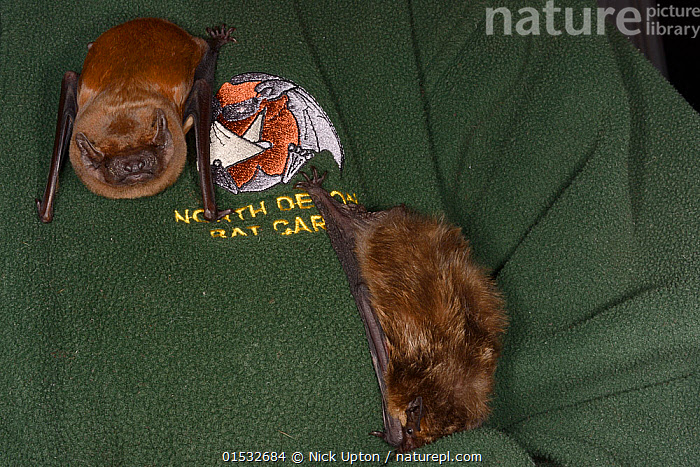 Samantha Pickering stroking/with a Noctule bat (Nyctalus noctula) next to a Serotine bat (Eptosicus serotinus) on her chest at her rescue centre, North Devon Bat Care, Devon, UK, October 2015. Model released., Animal,Wildlife,Vertebrate,Mammal,Bat,Vespertilionid bat,Noctule bats,Leisler's Bat,Noctule bat,Animalia,Animal,Wildlife,Vertebrate,Mammalia,Mammal,Chiroptera,Bat,Vespertilionidae,Vespertilionid bat,Microchiroptera,Microbat,Micro bat,Nyctalus,Noctule bats,Noctule,Nyctalus leisleri,Leisler's Bat,Lesser Noctule,Nyctalus noctula,Noctule bat,Care,Caring,Rescue,Rescues,Rescuing,Saving,Europe,Western Europe,UK,Great Britain,England,Devon,Conservation,Animal rehabilitation,Rehabilitation,Wildlife conservation,Rehabilitation Centre,, Nick Upton