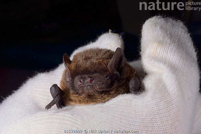 Leisler's / Lesser noctule bat (Nyctalus leisleri) held at North Devon Bat Care, Barnstaple, Devon, UK, October 2015. Model released., Animal,Vertebrate,Mammal,Bat,Vespertilionid bat,Noctule bats,Leisler's Bat,Animalia,Animal,Wildlife,Vertebrate,Mammalia,Mammal,Chiroptera,Bat,Vespertilionidae,Vespertilionid bat,Microchiroptera,Microbat,Micro bat,Nyctalus,Noctule bats,Noctule,Nyctalus leisleri,Leisler's Bat,Lesser Noctule,Care,Caring,Rescue,Rescues,Rescuing,Saving,Europe,Western Europe,UK,Great Britain,England,Devon,Hand,Conservation,Animal rehabilitation,Rehabilitation,Wildlife conservation,Rehabilitation Centre,, Nick Upton