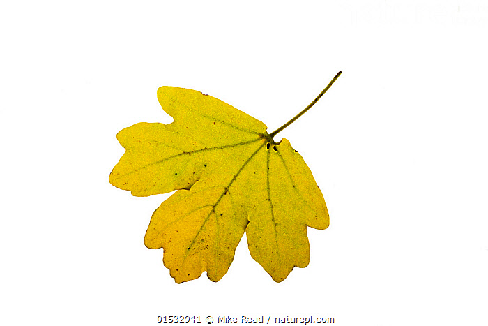 Nature Picture Library Field Maple Acer Campestre Individual